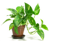 Golden Pothos House Plant Care