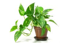 Watering pothos indoor plant