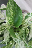 Pothos Plant Devils Ivy