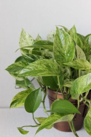Picture of Pothos Marble Queen Plant in Brass Pot