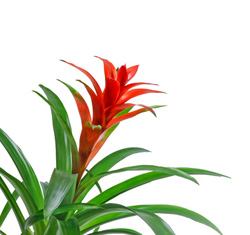 Indoor Plants   Red Guzmania Bromeliad. Red Bromeliad Flowering House Plants