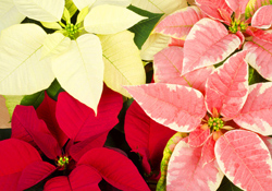 Poinsettia Plant Care, Red White Pink Flowers