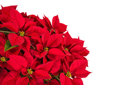 Poinsettia Plant Care, Red flowers
