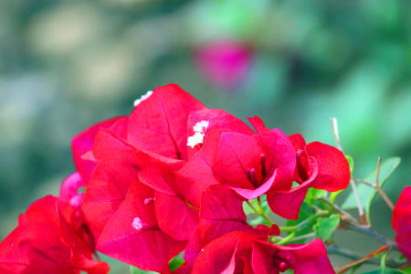 Close-up of red Bougainvillea flowers
