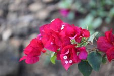 Red Flowering Bougainvillea Branch