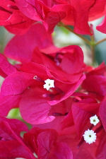 Closeup of Red Bougainvillea Flower