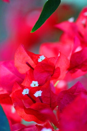 Red Flower Bougainvillea