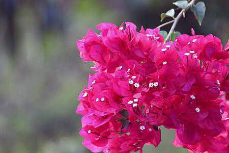 Red Flowered Bougainvillea Branch
