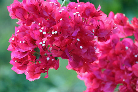 Picture of Pink Bougainvillea Flower Clusters