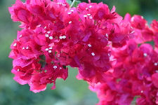 Red Flowering Bougainvillea Bush