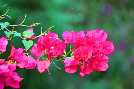 Red Flower Bougainvillea Branch