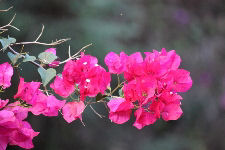 Branch with Red Bougainvillea Flowers