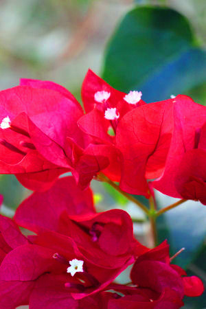 Close-up photo of red Bougainvillea flowers