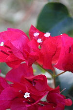 Closeup of Red Flowers on Bougainvillea