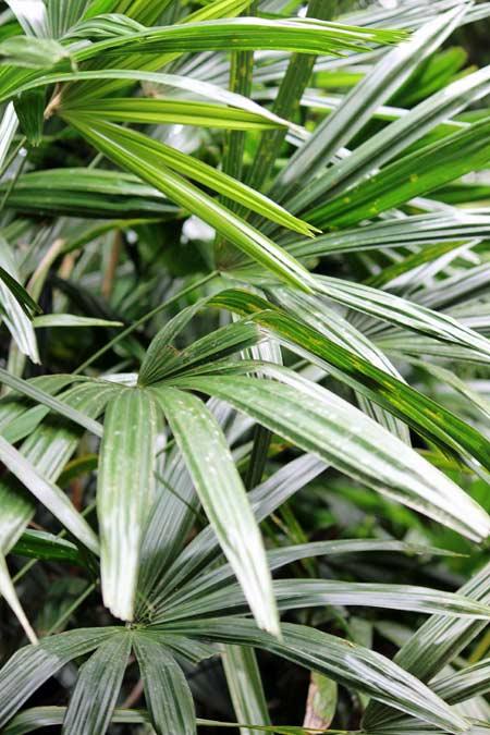 Picture of Rhapis Excelsa Palm Plant