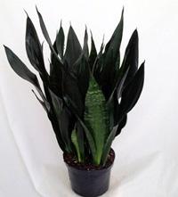 Snake plant Robusta
