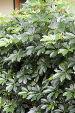 Schefflera Arboricola Plant