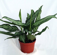 Buy Silver queen chinese evergreen plant