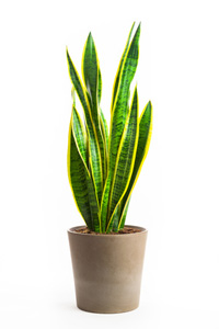 Sansevieria Laurentii house plants care