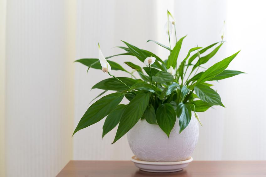 spathiphyllum-peace-lily-plant Codiaeum Plant House on croton plant, codiaeum revolutions plant, codiaeum variegatum plant,