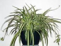 Buy Spider Plant