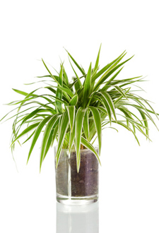 Spider Plant Watering Care - House Plants and Flowers on spider plant care tips, spider plant light, spider eating food, tall spider plant, spider plant on a stick, spider infestation in home, spider plants outside, spider plant poisonous, spider plant varieties, spider plant roots, houseplants plant, rare spider plant, spider grass plant, spider plant care indoor, snake plant, spider plant toxic to dogs, spider flowering plant, spider plant in the wild, aloe vera plant,