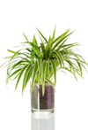 Spider plant, a most popular house plant