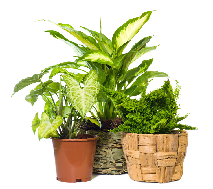 Tropical plant for your greenhouse