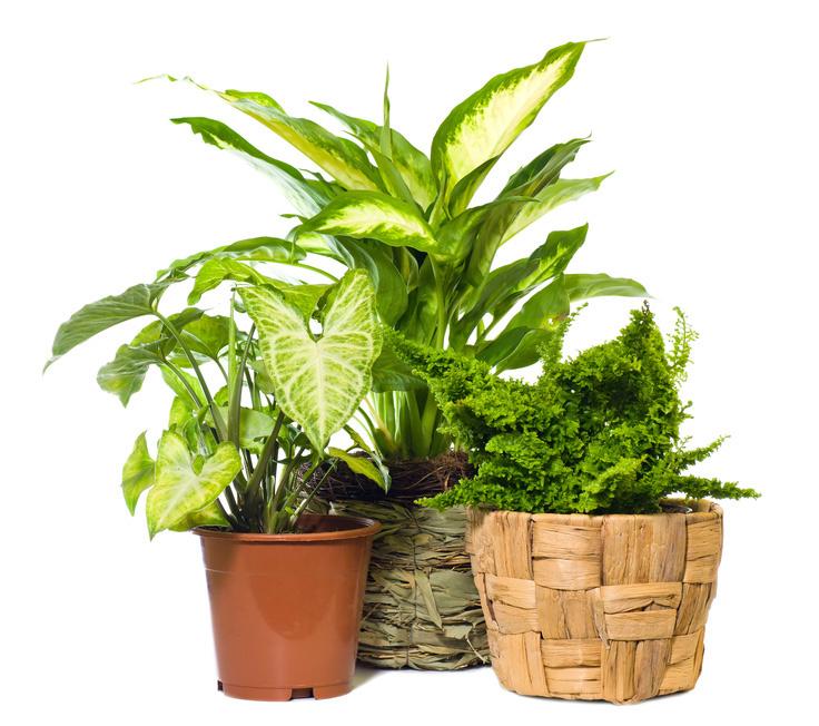 Indoor Plants - Three Tropical Indoor Plants