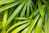 Rhapis excelsa palm plant