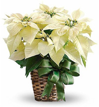 White Flowered Poinsettia Gift Plant